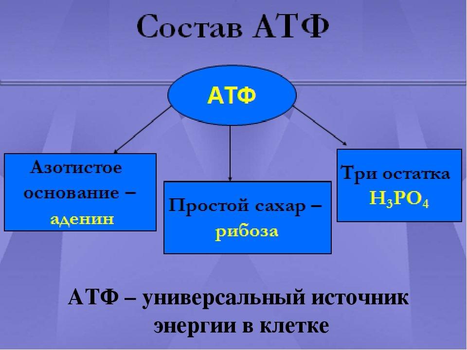 АТФ, фото